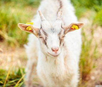 Junge Ziege auf der Weide